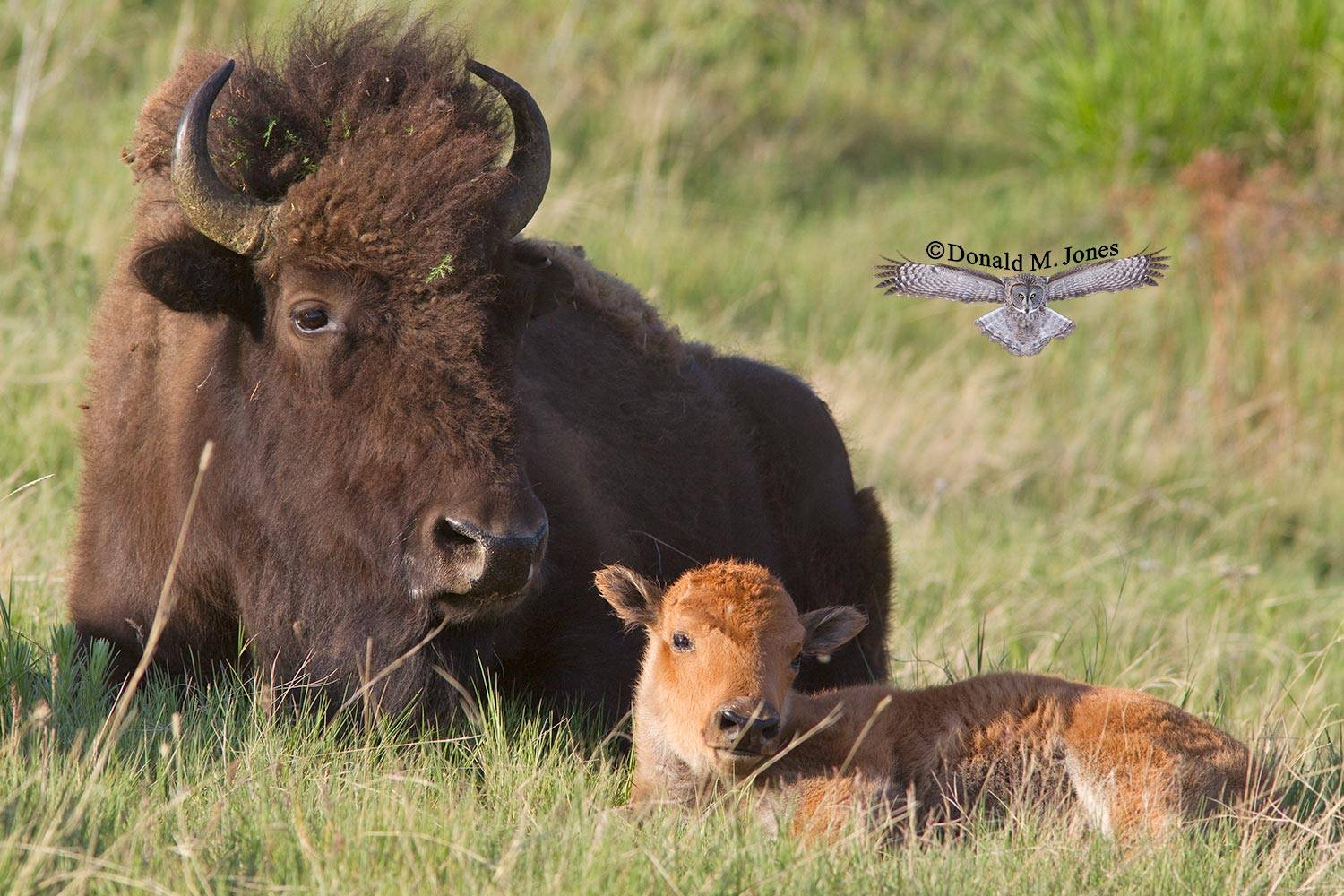 American-Bison01673D