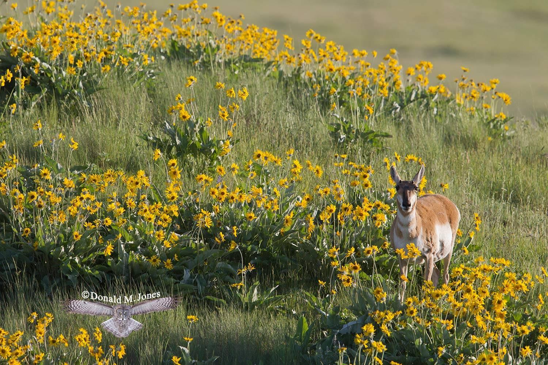 Pronghorn-Antelope04804D