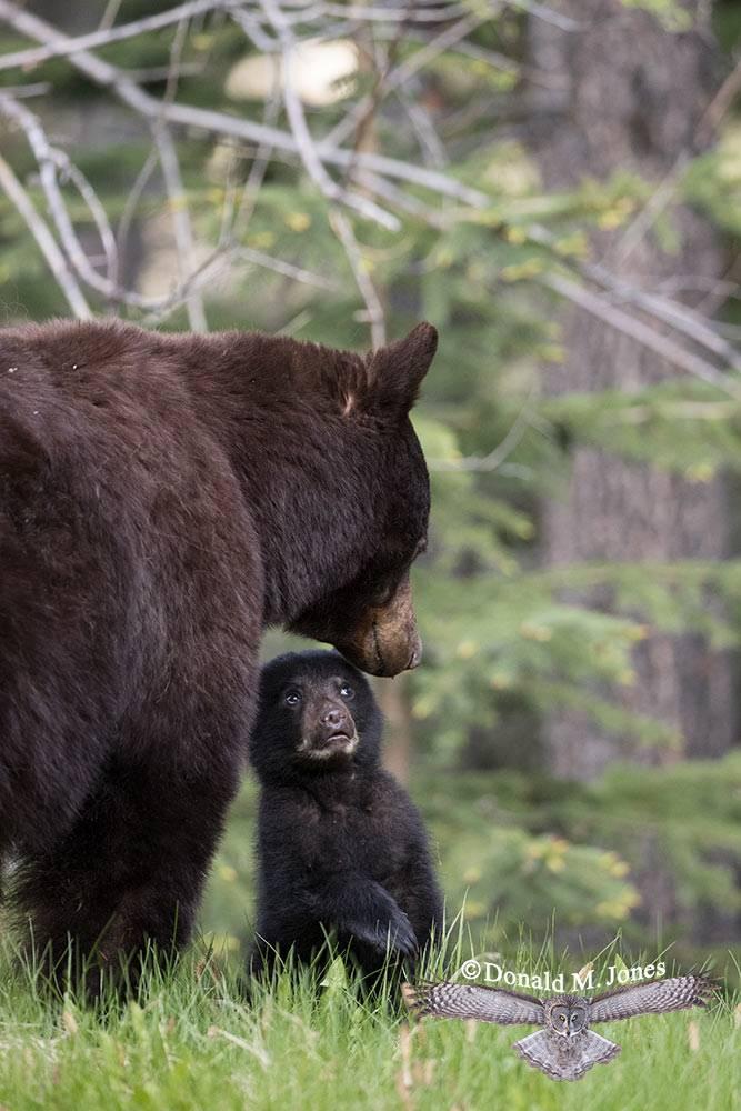 Black-Bear07739D