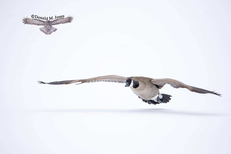Canada-Goose1436D