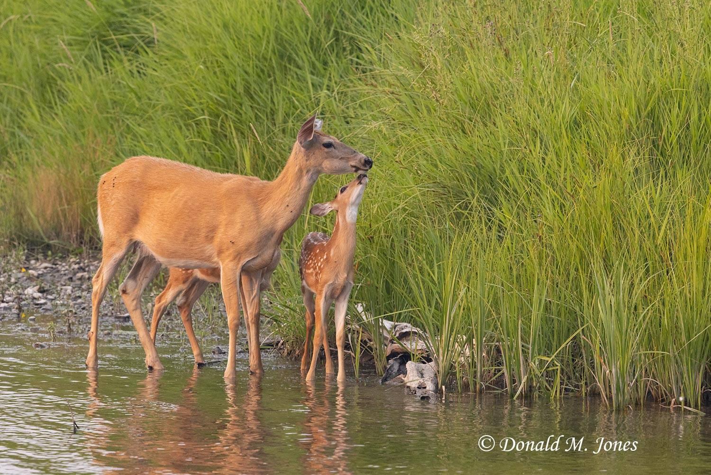 Whitetail-Deer63407D