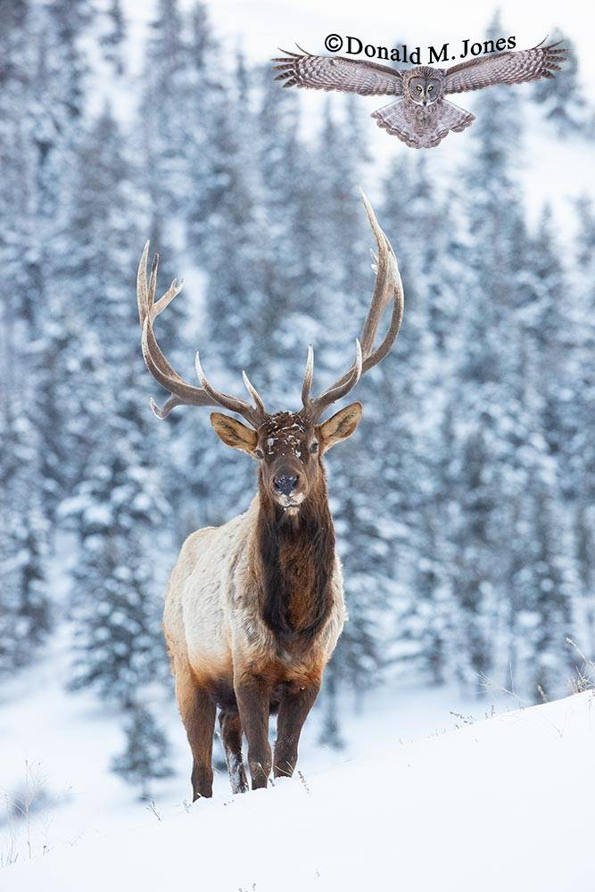 Elk-(Rocky-Mtn)26494D