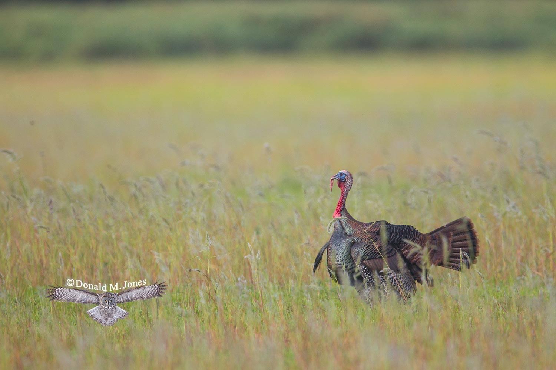 Wild-Turkey-(Osceola)0115D