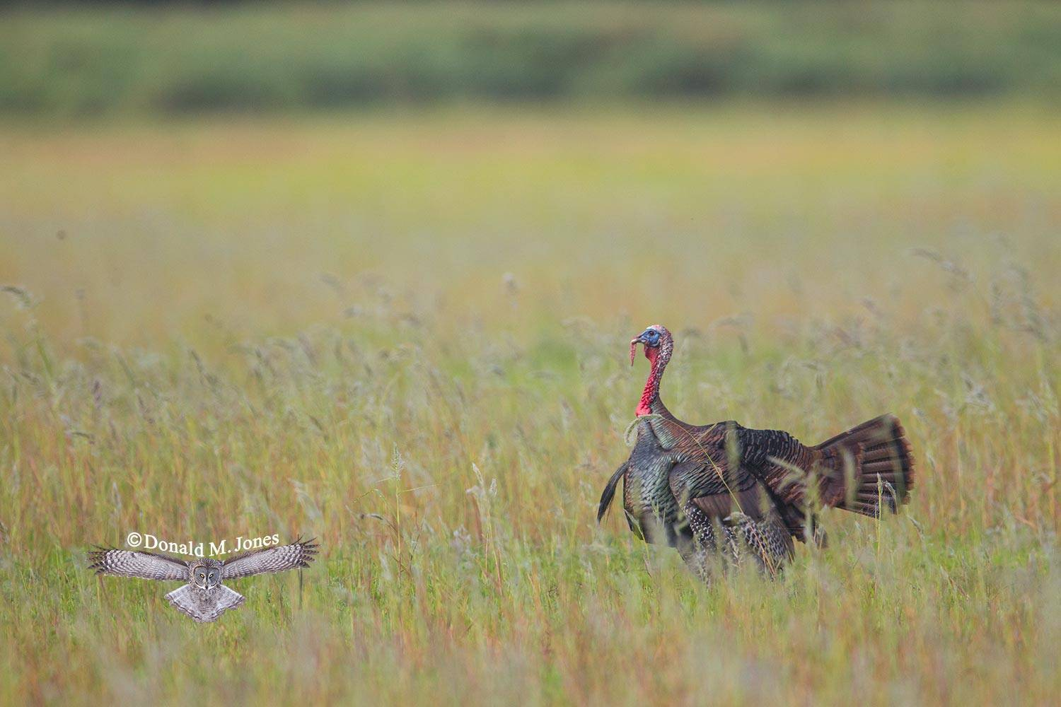 Wild-Turkey-(Osceola)0115D