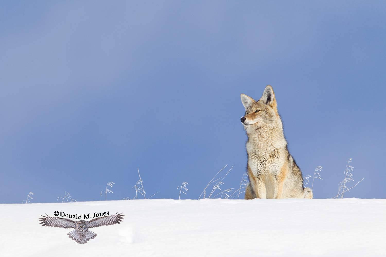 Coyote02357D