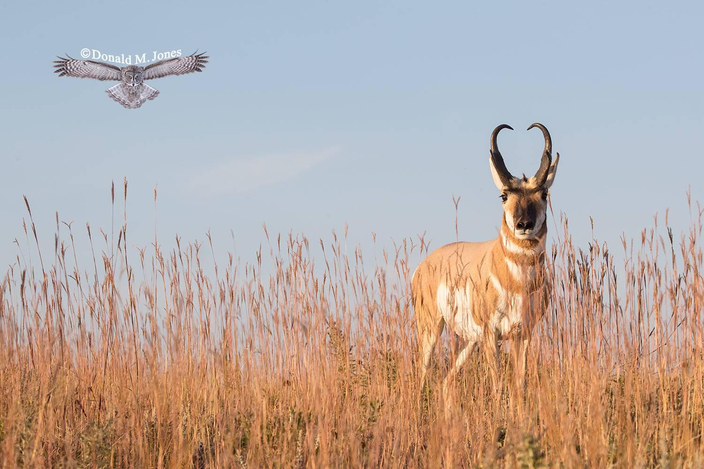 Pronghorn-Antelope05442D