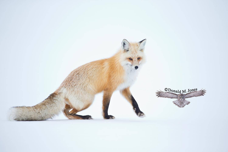 Red-Fox1148D