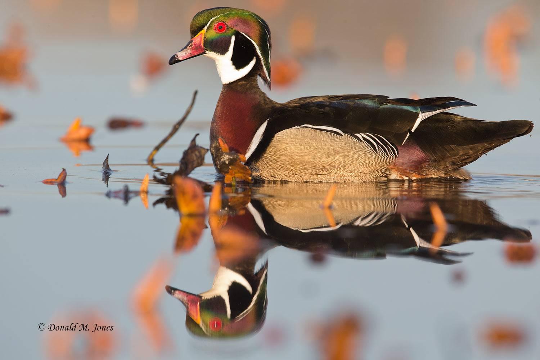 Wood-Duck0675D