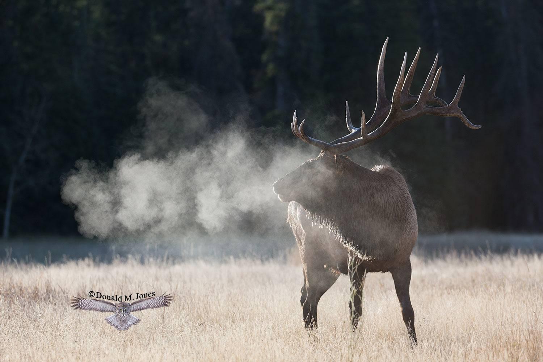 Elk-(Rocky-Mtn)18650D