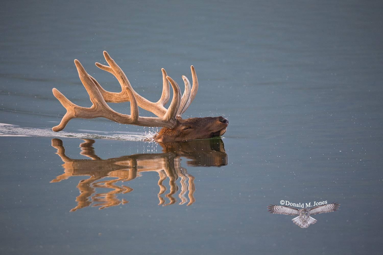 Elk-(Rocky-Mtn)19733D