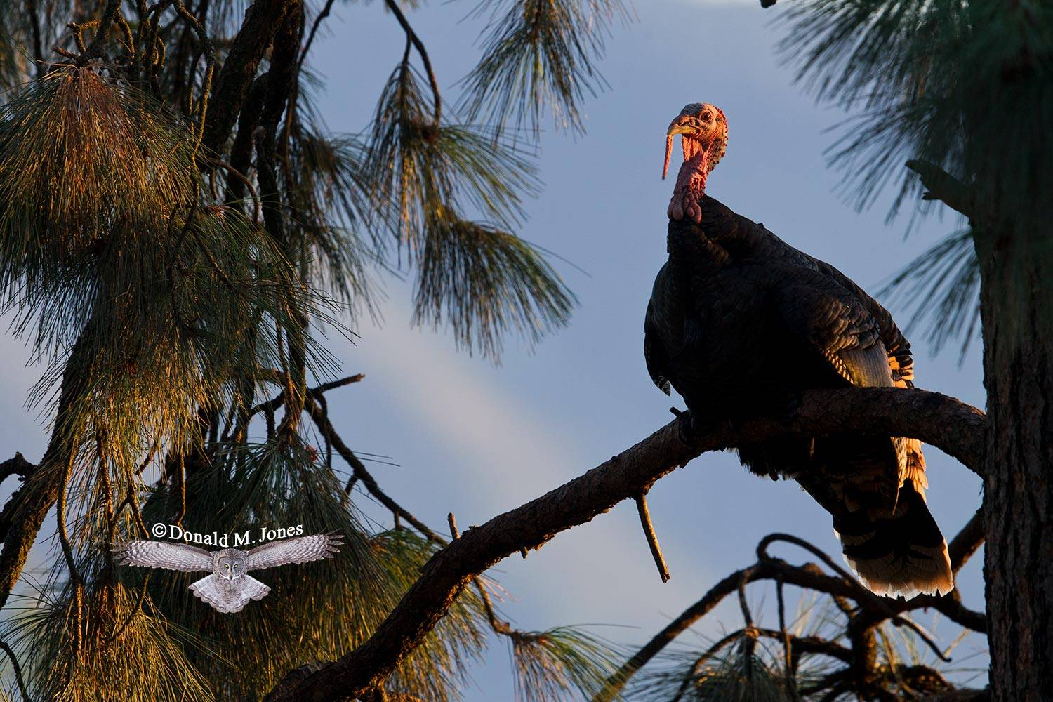 Wild-Turkey-(Merriams)11292D