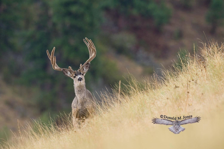 Mule-Deer07288D
