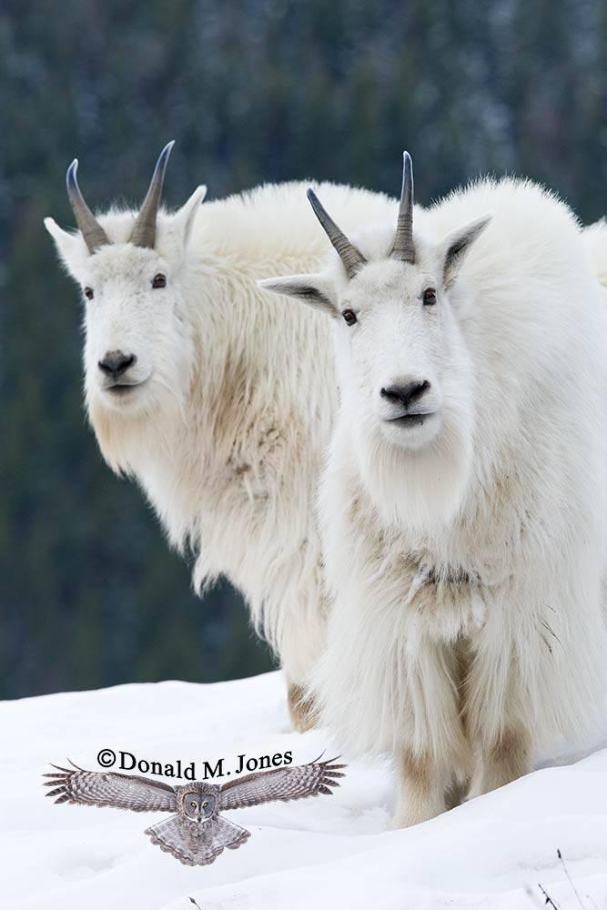 Mountain-Goat01784D