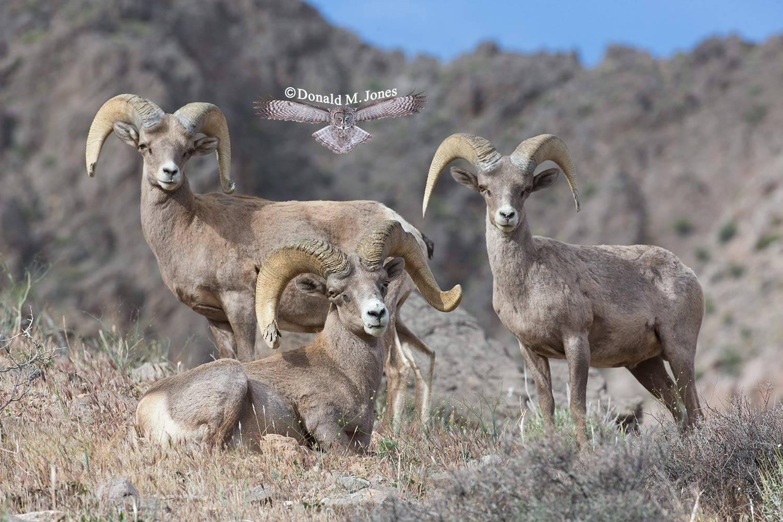 Desert-Bighorn-Sheep00583D