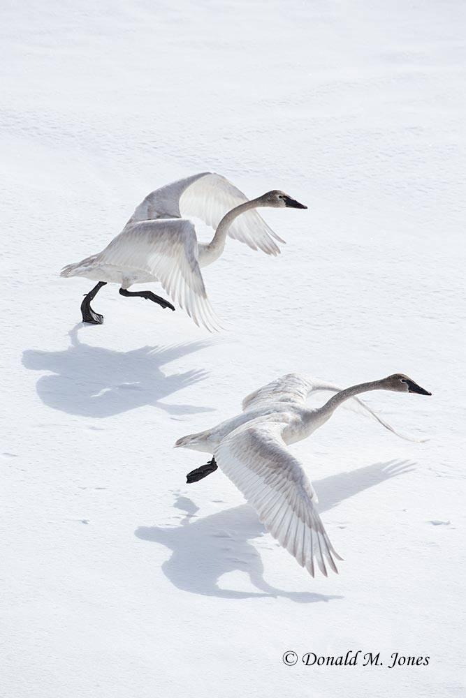 Trumpeter-Swan0404D