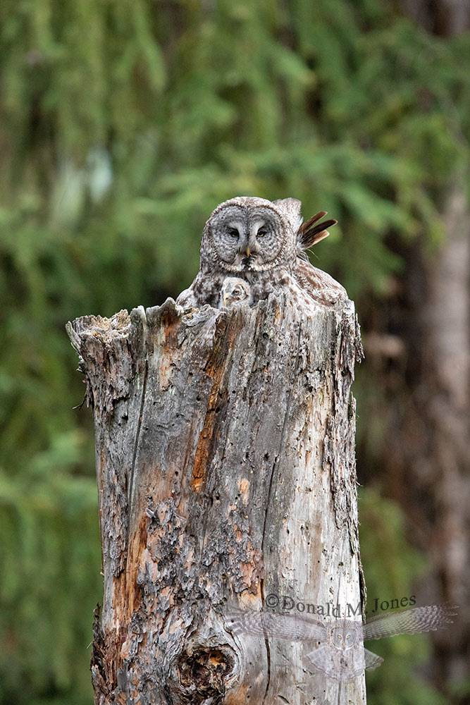 May 27 Great Gray Owl adult and owlet at nesting snag - 50 feet up.