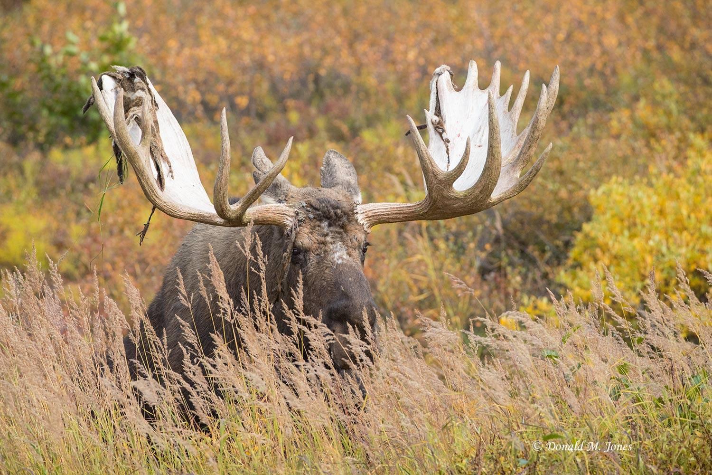 Moose06035D