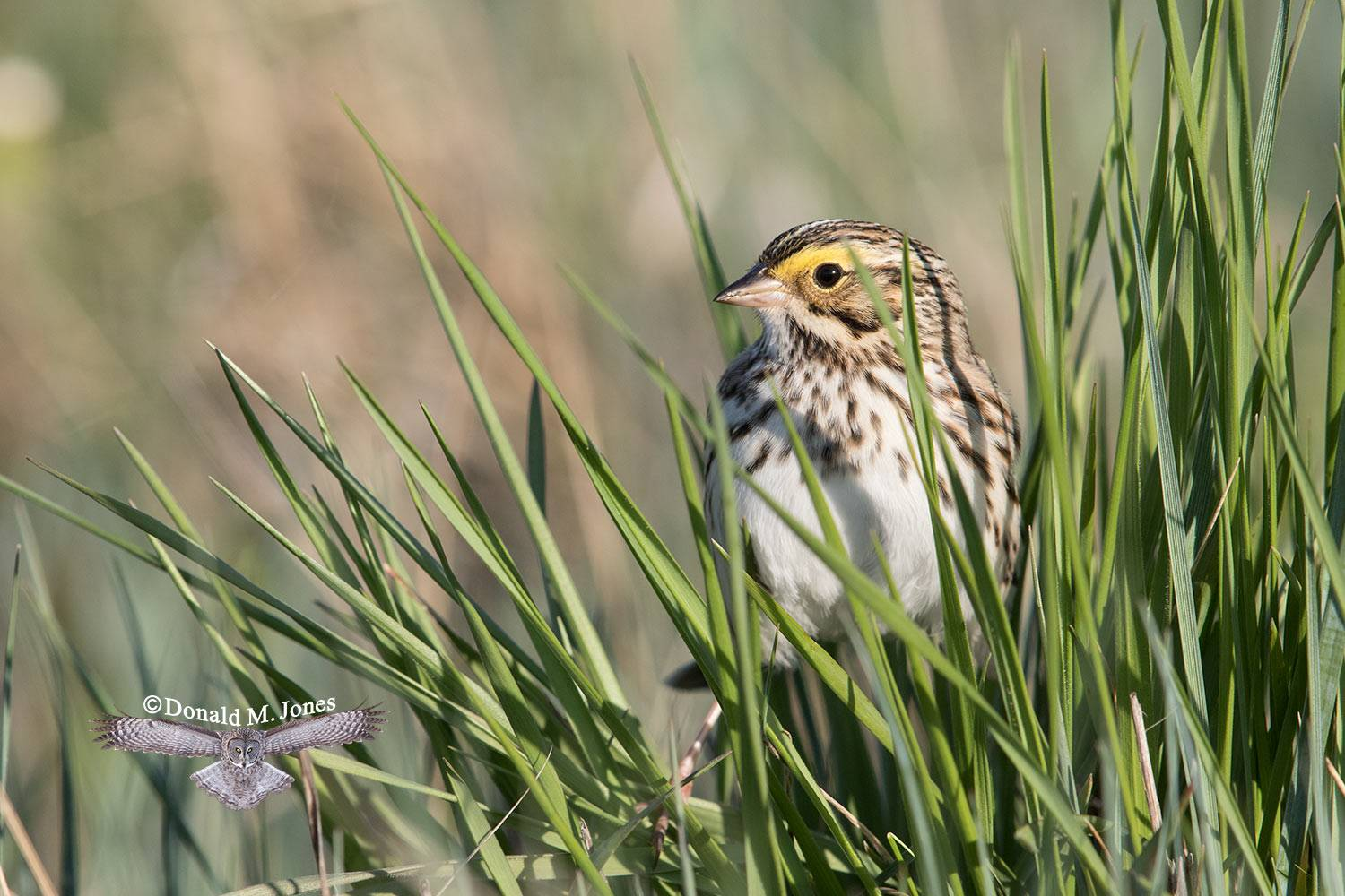 Savannah-Sparrow0191D