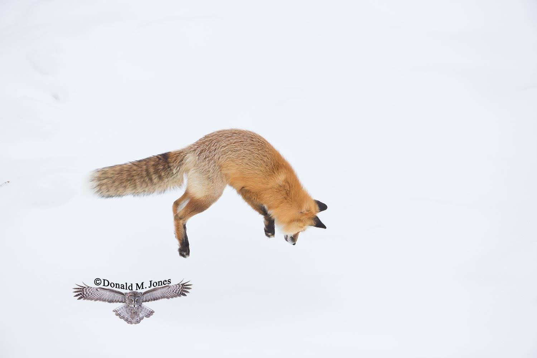 Red-Fox1177D