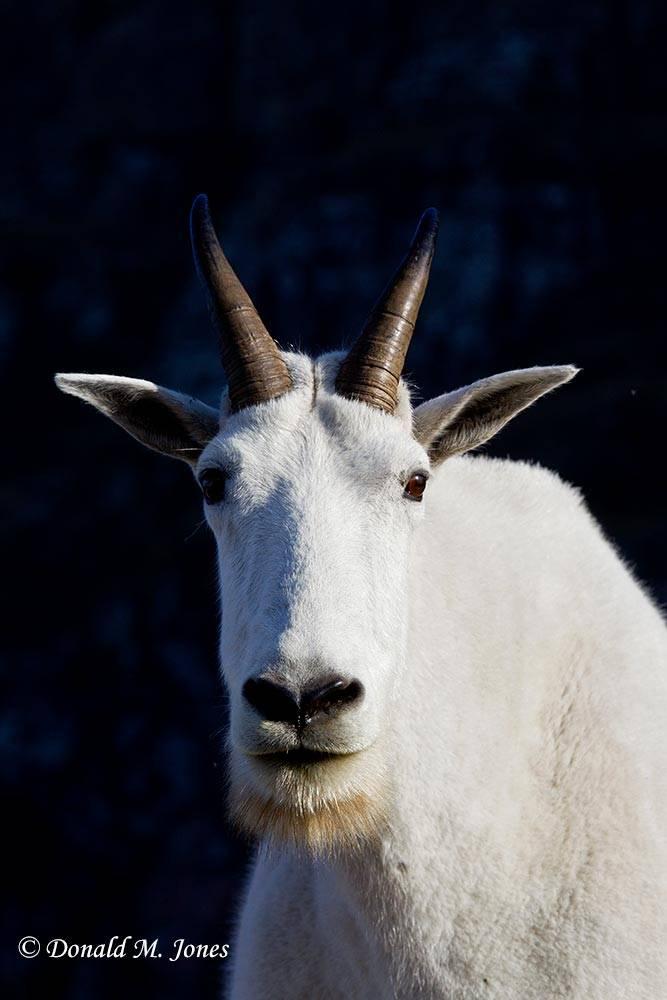 Mountain-Goat02405D