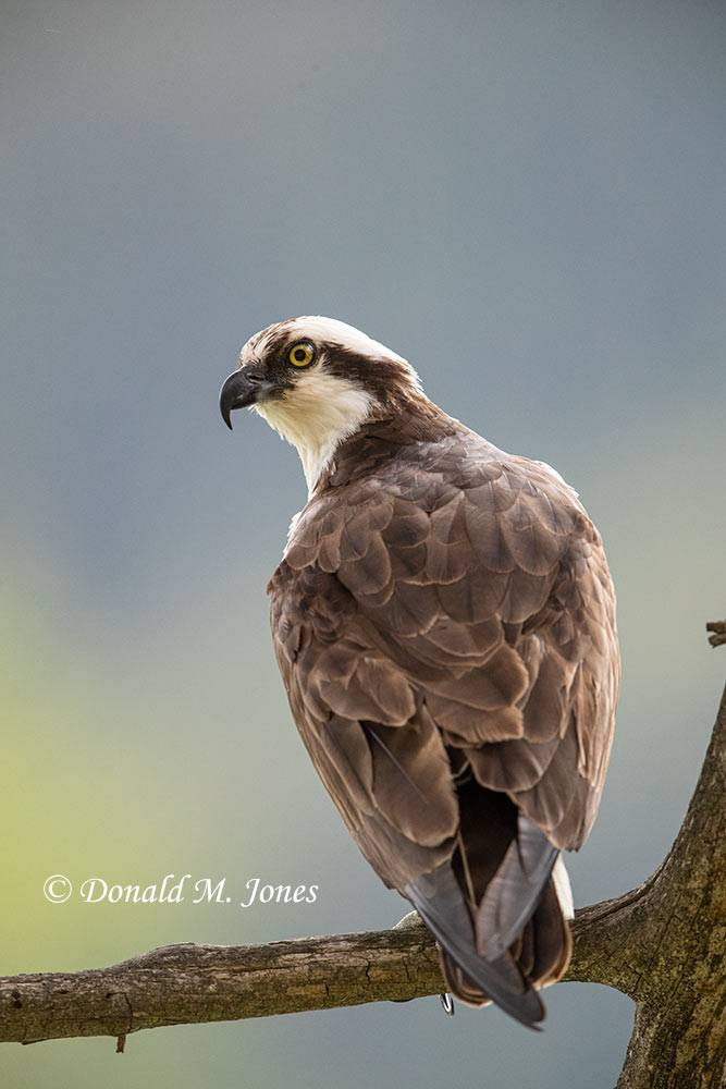 May 21, Osprey