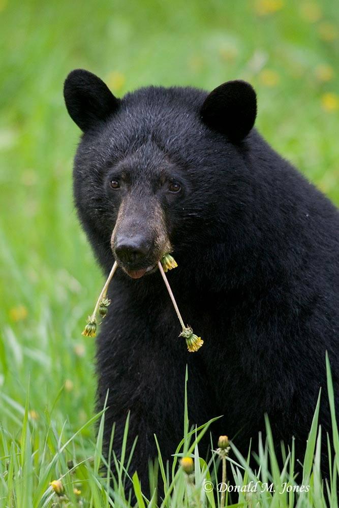 Black-Bear04091D
