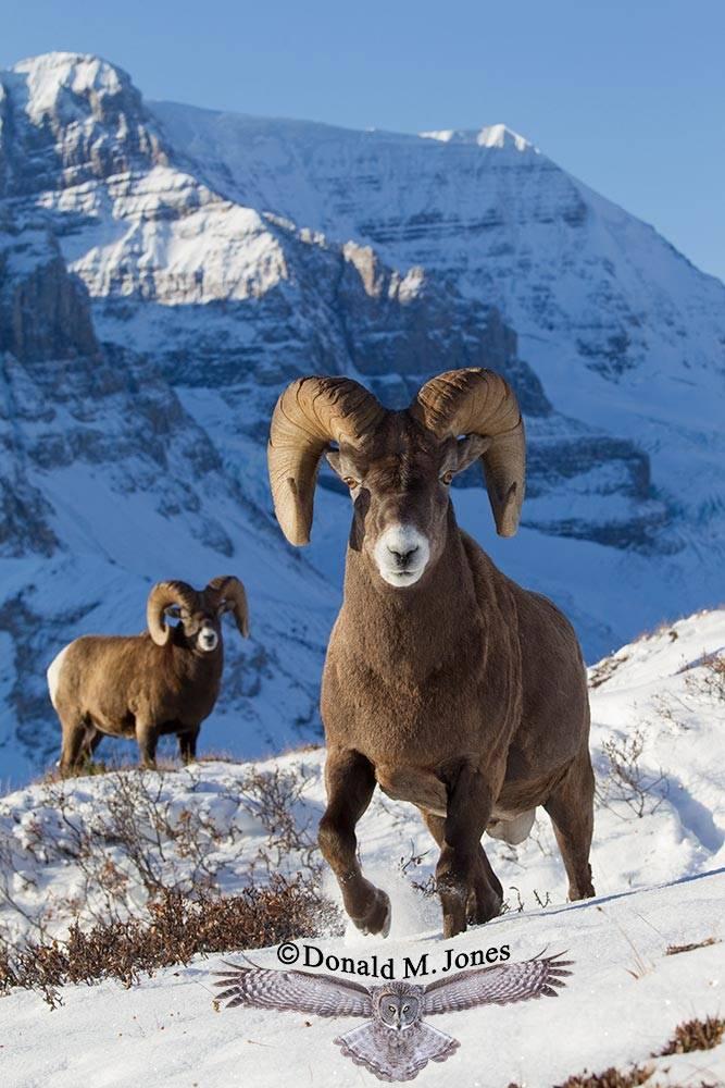 Bighorn-Sheep04235D