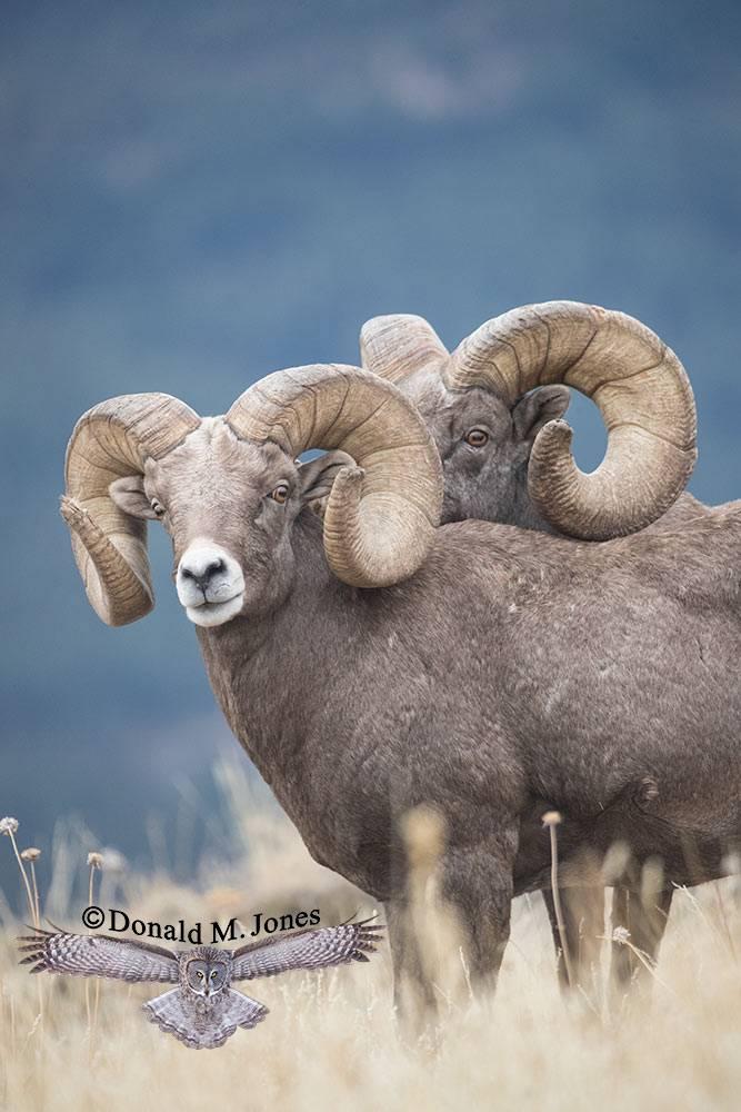 Bighorn-Sheep06124D