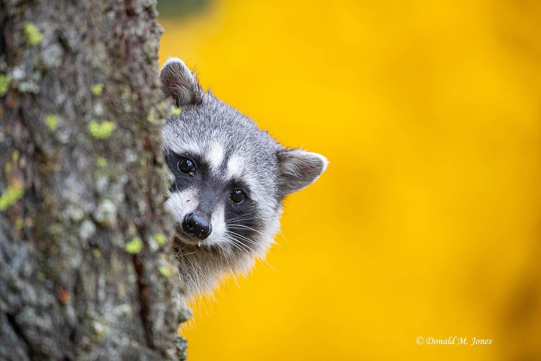 Raccoon0230D