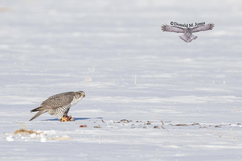 Gryfalcon014D  feeding on Hungarian Partridge