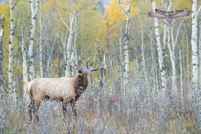 Elk-(Rocky-Mtn)26282D