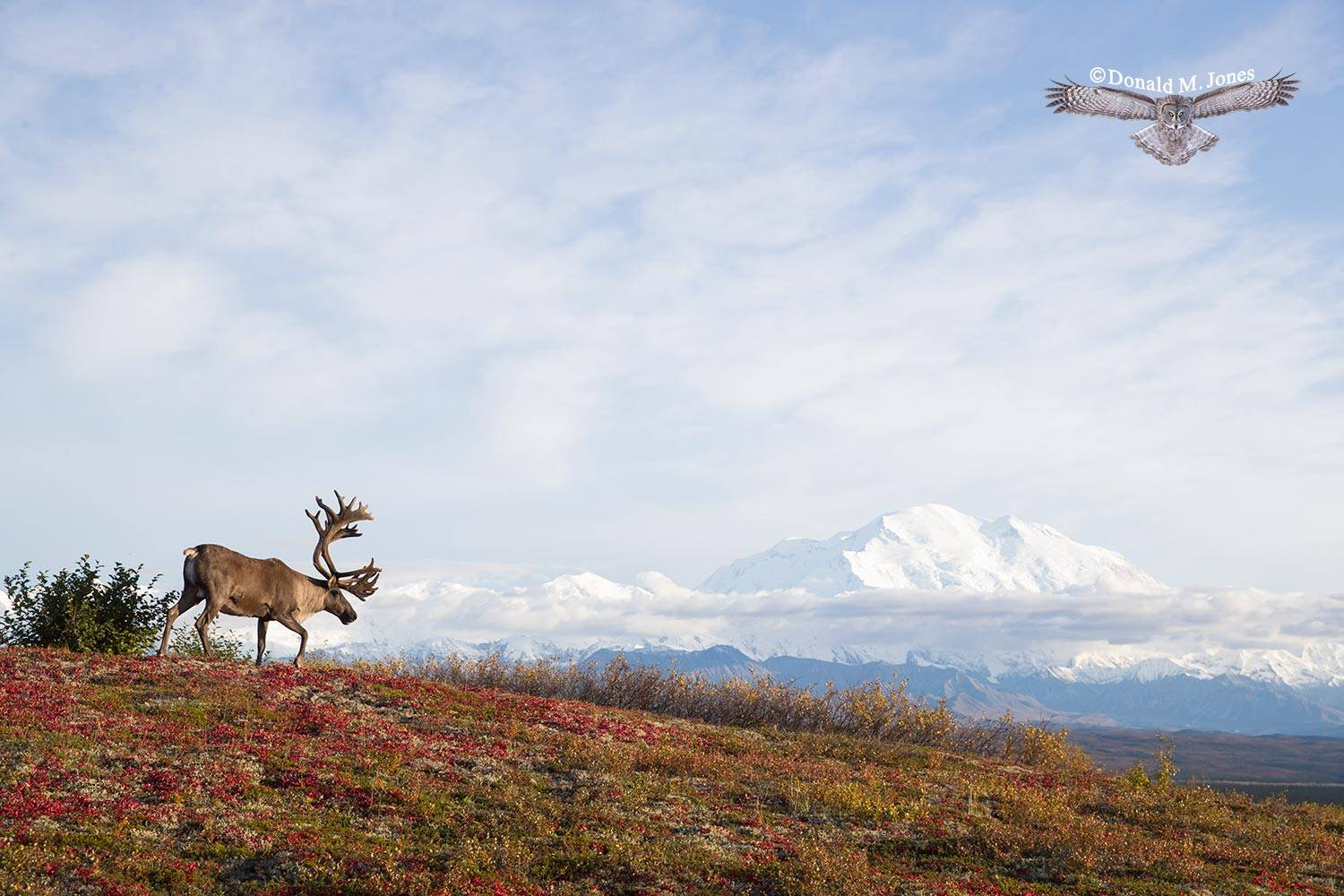 Barren-Ground-Caribou03883D