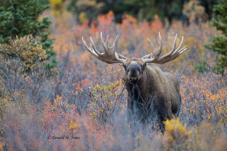 Moose05897D