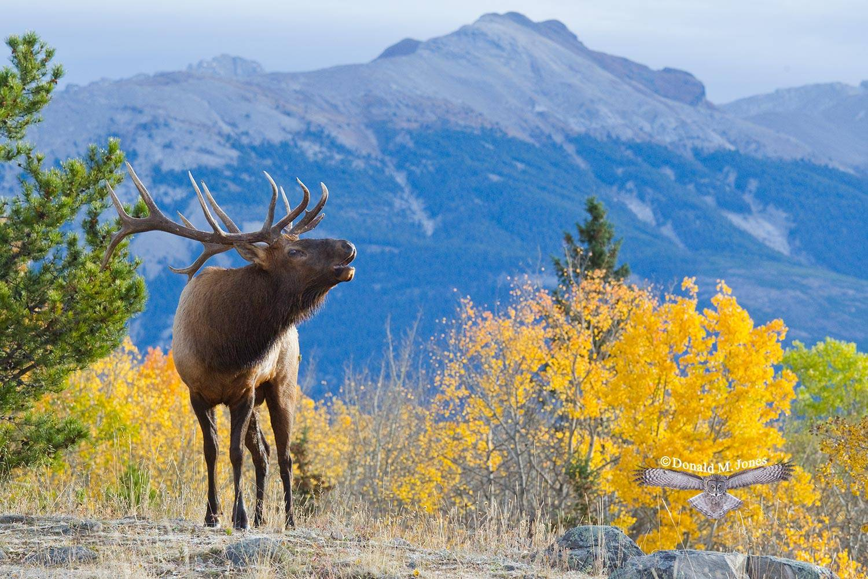 Elk-(Rocky-Mtn)16687D