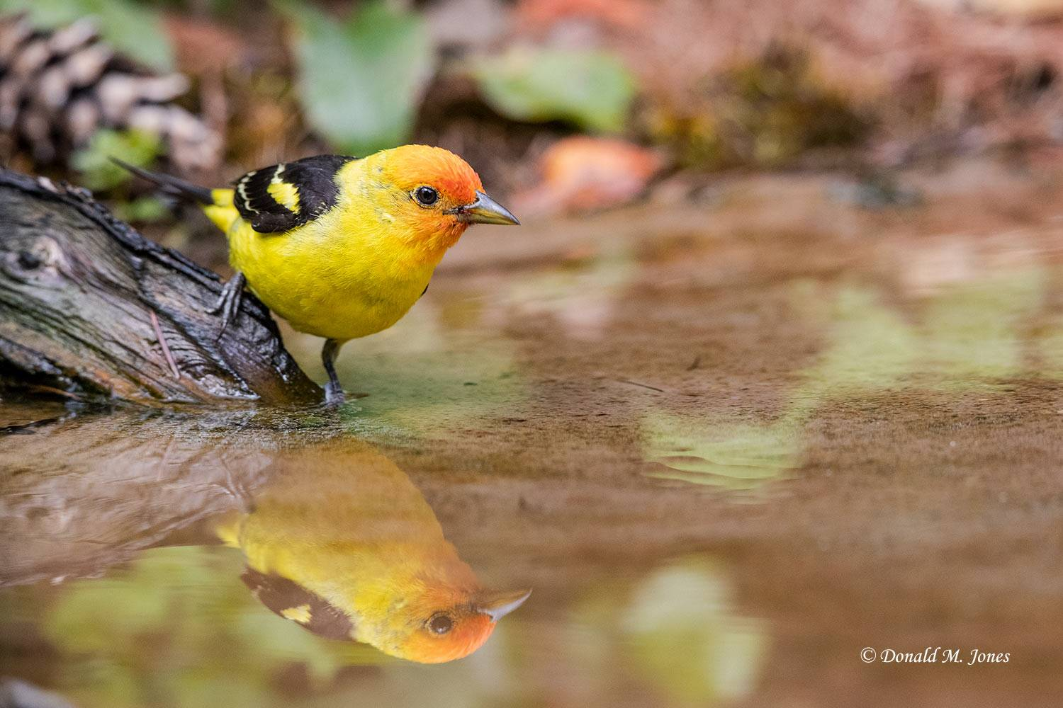Western-Tanager0890D