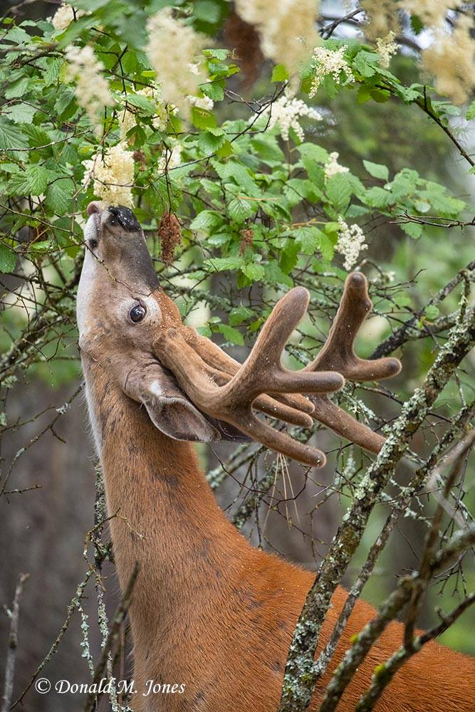 Whitetail-Deer58928D