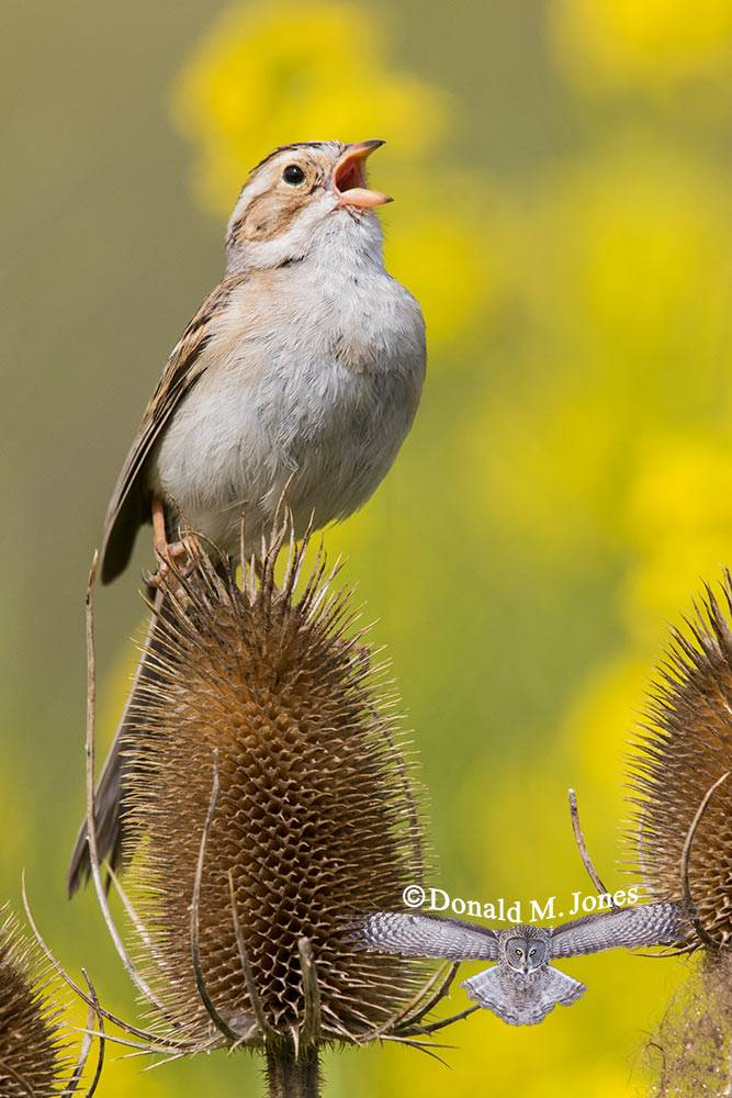 Clay-colored-Sparrow0261D