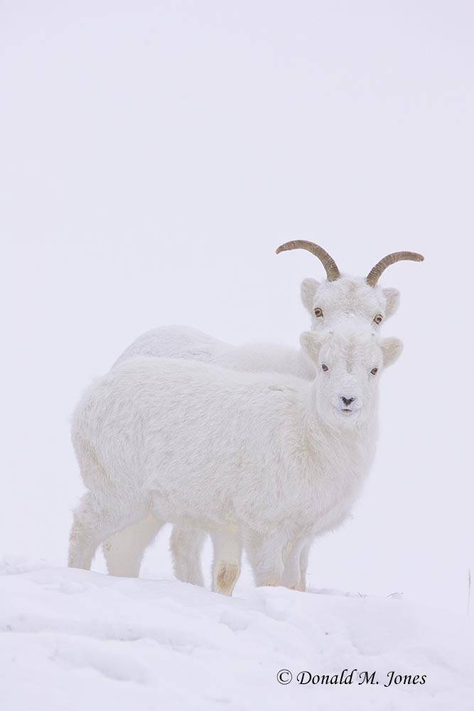 Dall-Sheep00977D