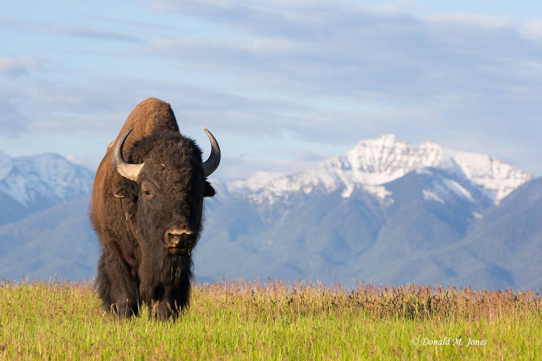 American-Bison02139D