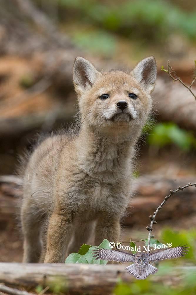 Coyote02016D