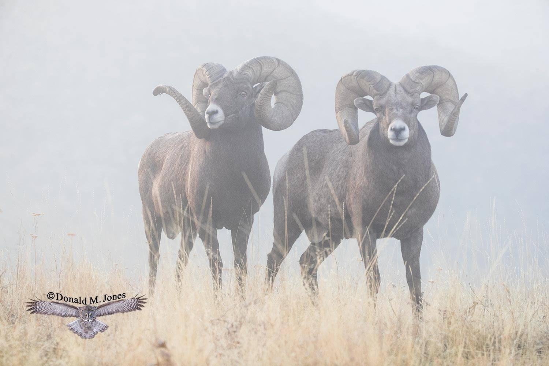 Bighorn-Sheep05552D