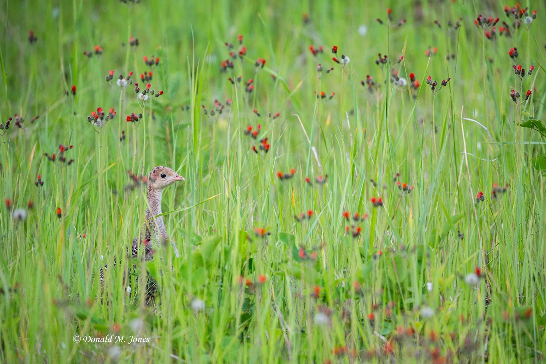 Wild-Turkey-(Merriams)12707D