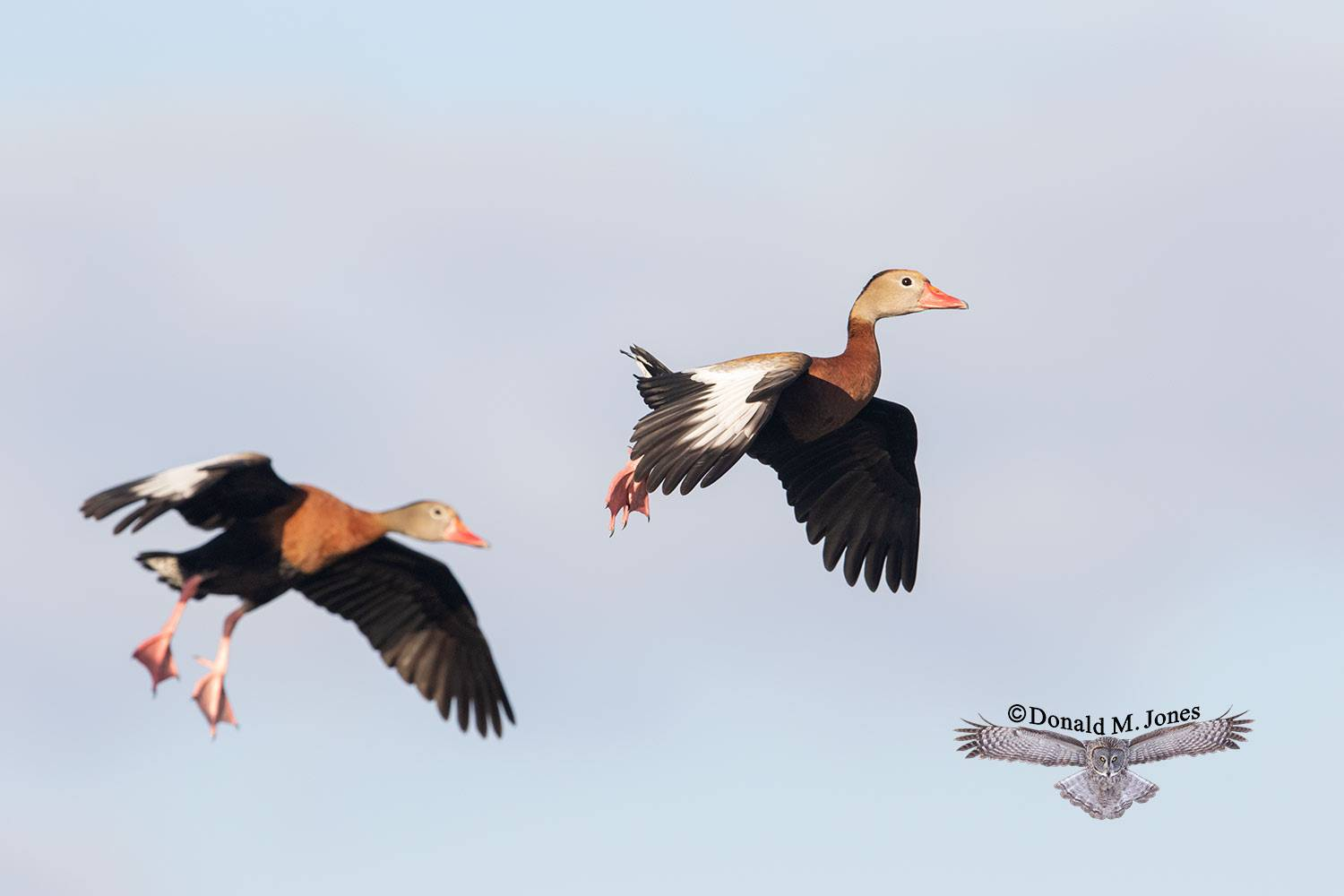 Black-belliied-Whistling-Duck0114D