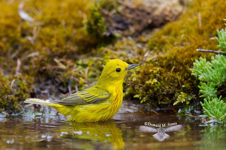 Yellow-Warbler0140D