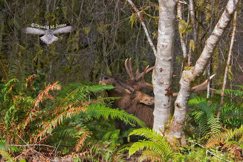Elk-(Roosevelt)00182D