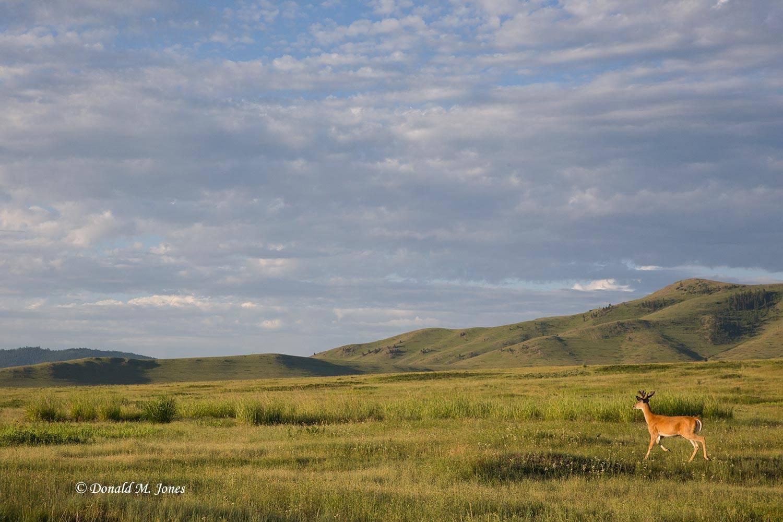 Whitetail-Deer50189D