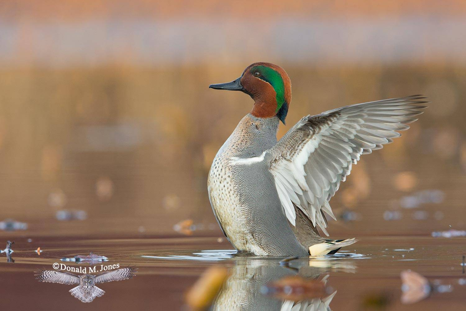 Green-wing-Teal0080D