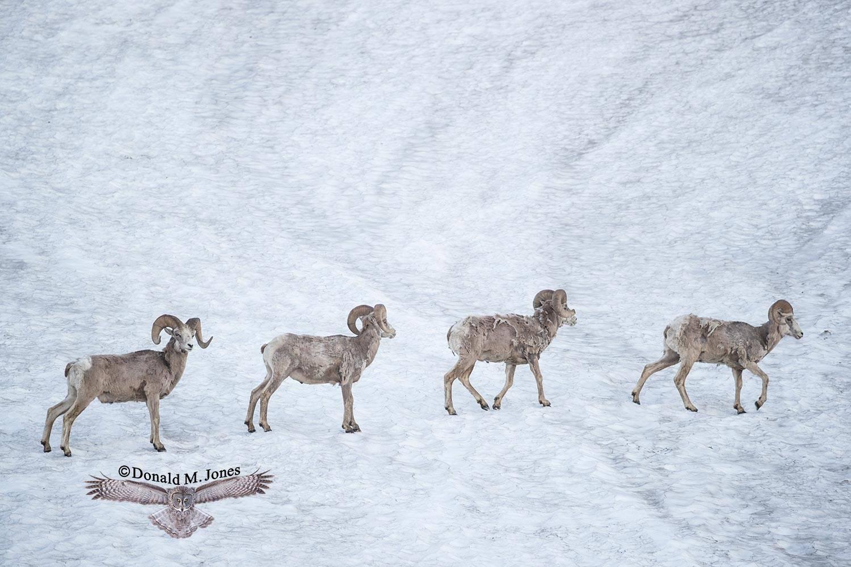 Bighorn-Sheep05370D