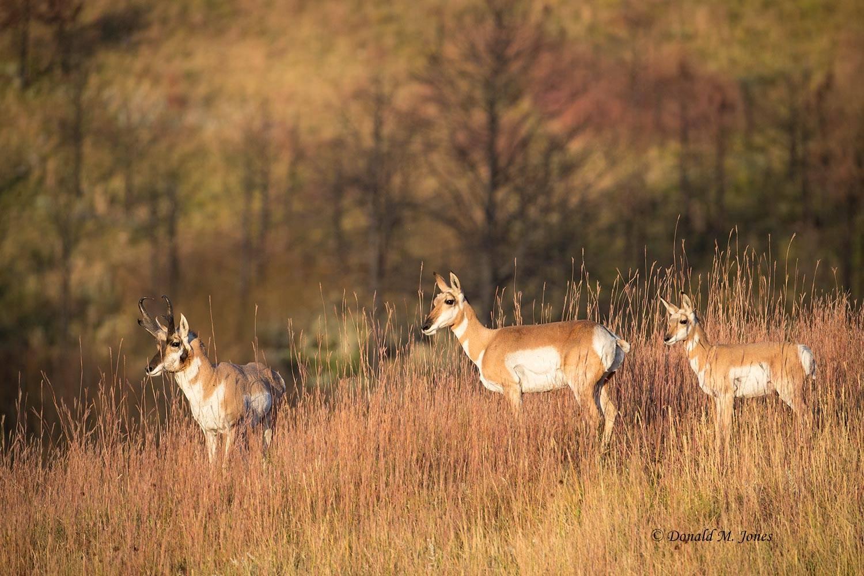 Pronghorn-Antelope05556D