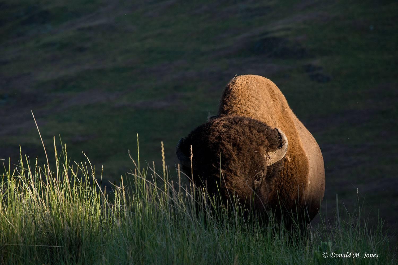 American-Bison02095D
